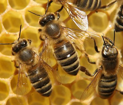 Bienen sind ein wichtiger Bestandteil der Natur.